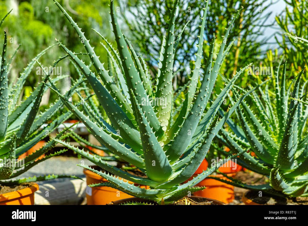 Aloe In Giardino righe di aloe le piante succulente in secchi in vendita nel