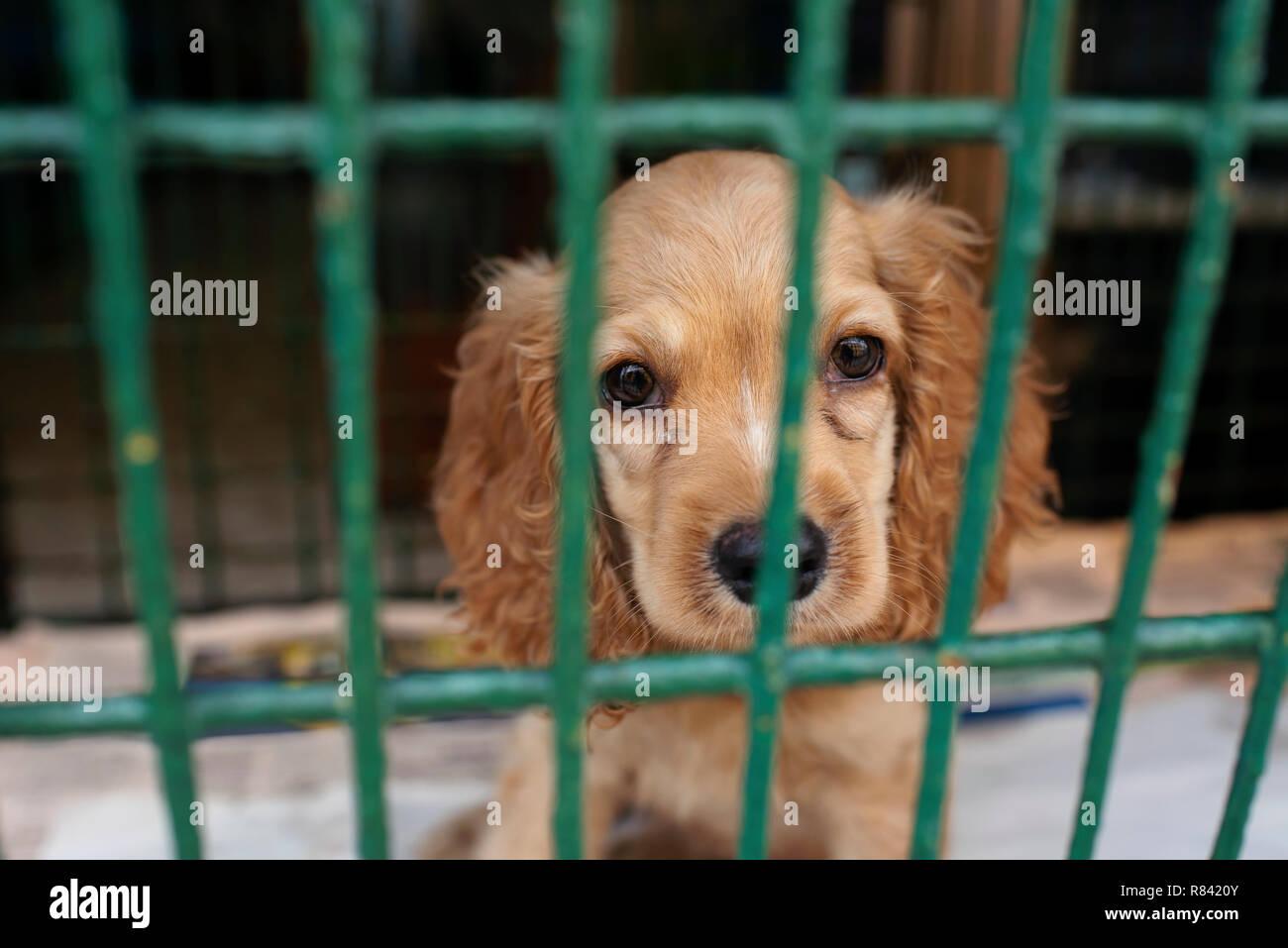 Cocker Spaniel puppy in una gabbia, attesa per il suo prossimo proprietario dietro le sbarre. Cani per la vendita in un negozio di animali di Cartagena de Indias, Colombia, Sud America Immagini Stock