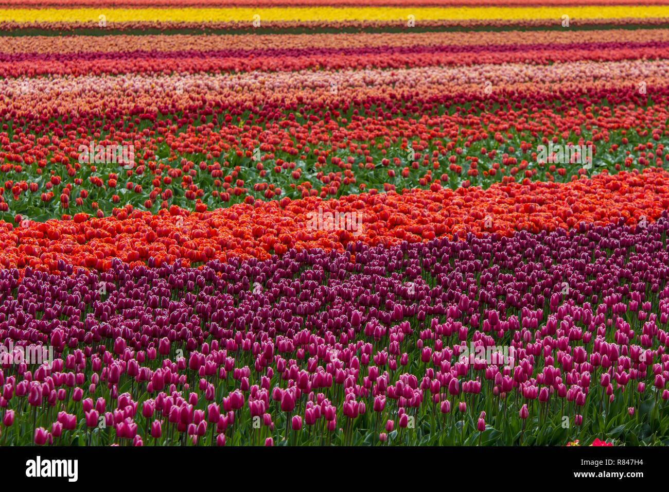 Colori brillanti tulip campo in Paesi Bassi Immagini Stock