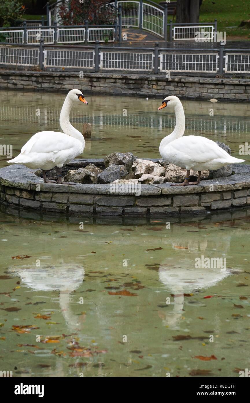 L'elegante cigno bianco nel parco a lago Immagini Stock