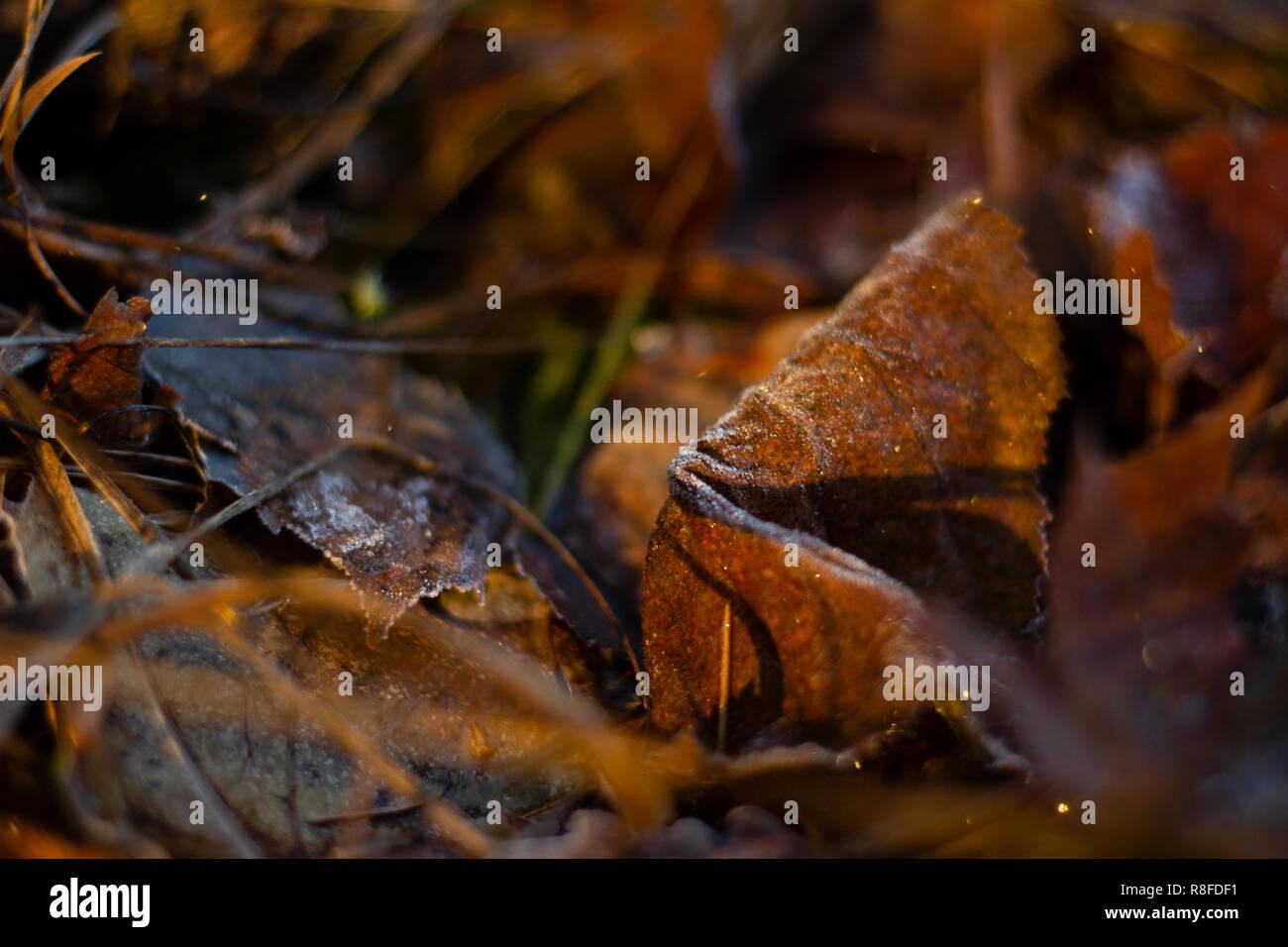 Frosty foglia sul terreno di una foresta, tutto oltre a foglia è sfocata. Luce dorata da un sunrise illuminazione della scena. Foto Stock
