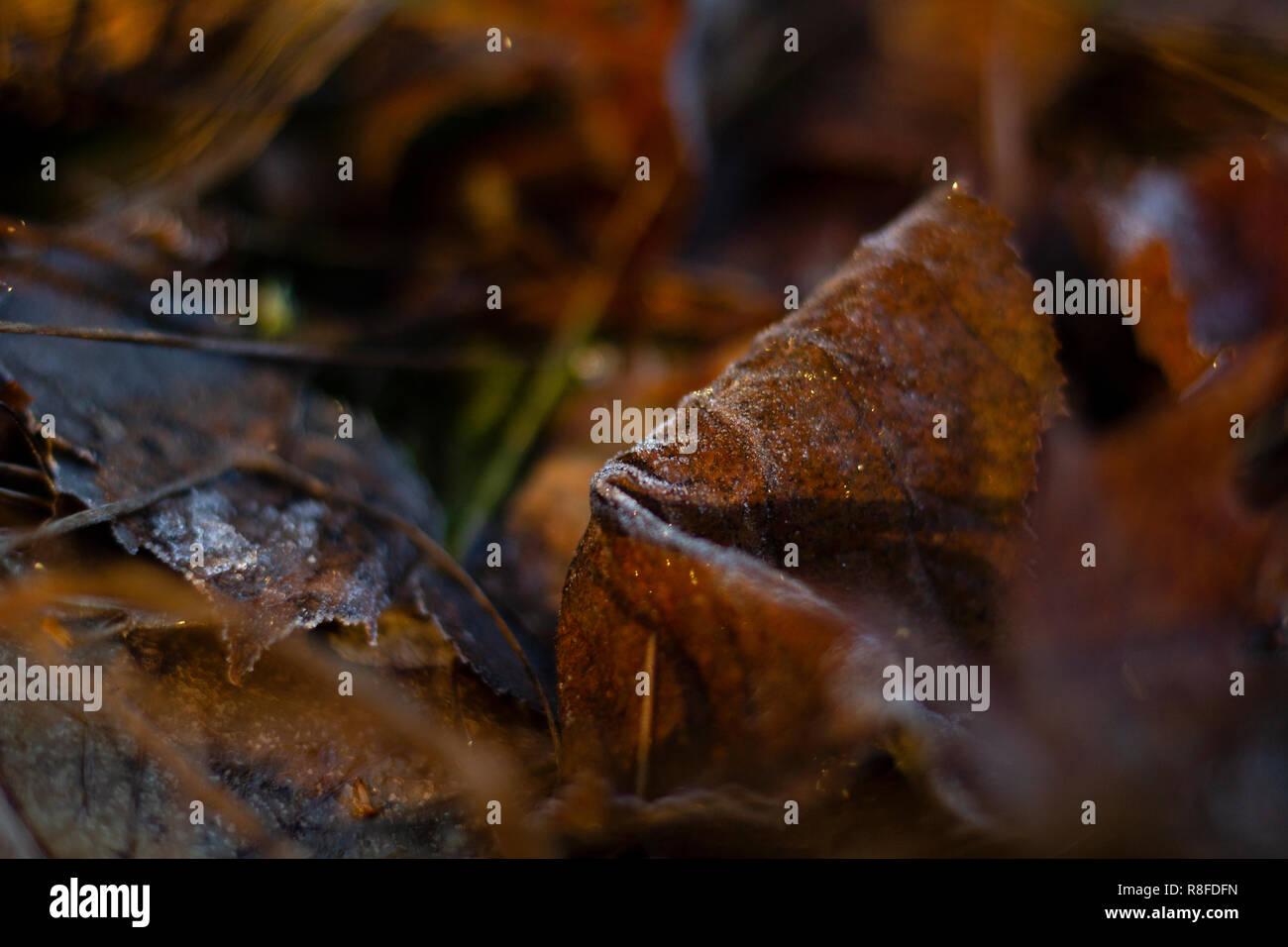 Frosty foglia sul terreno di una foresta, tutto oltre a foglia è sfocata. Foto Stock