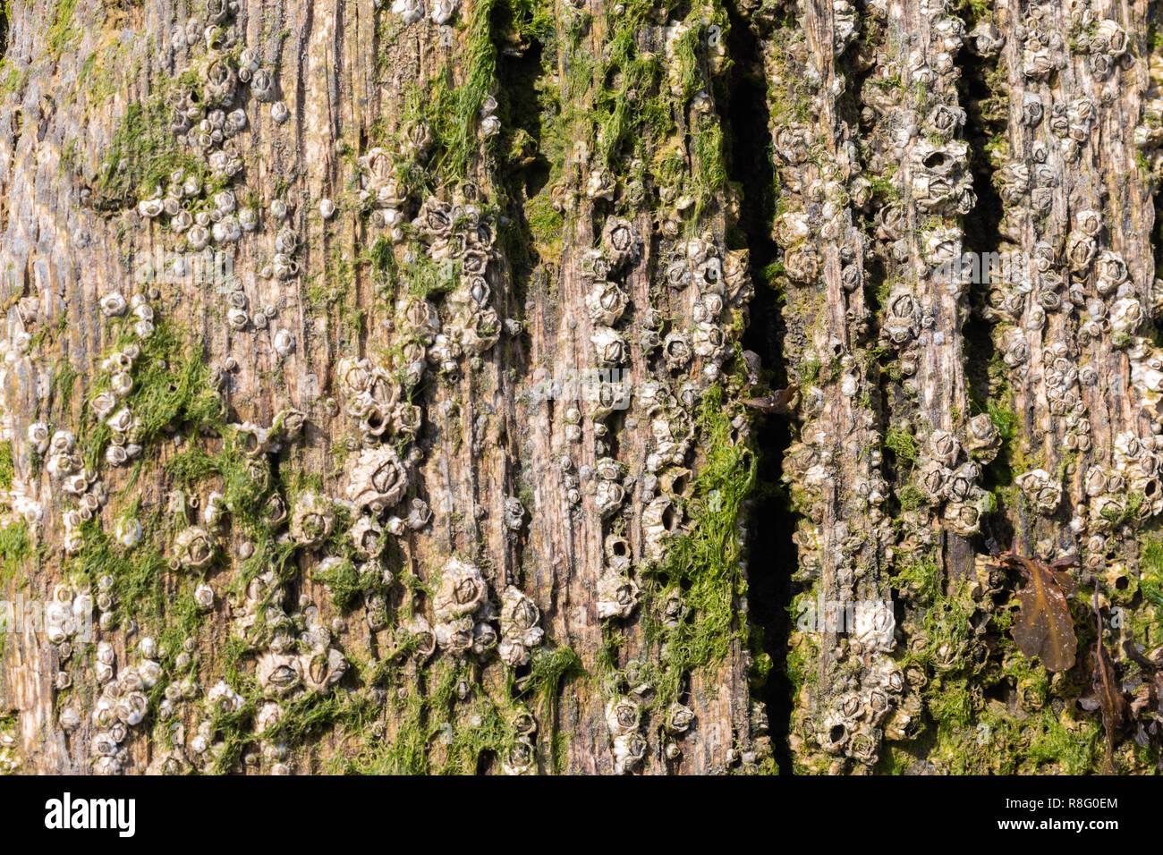 Close up della crescita di alghe marine dai pennelli di legno sulla spiaggia Foto Stock