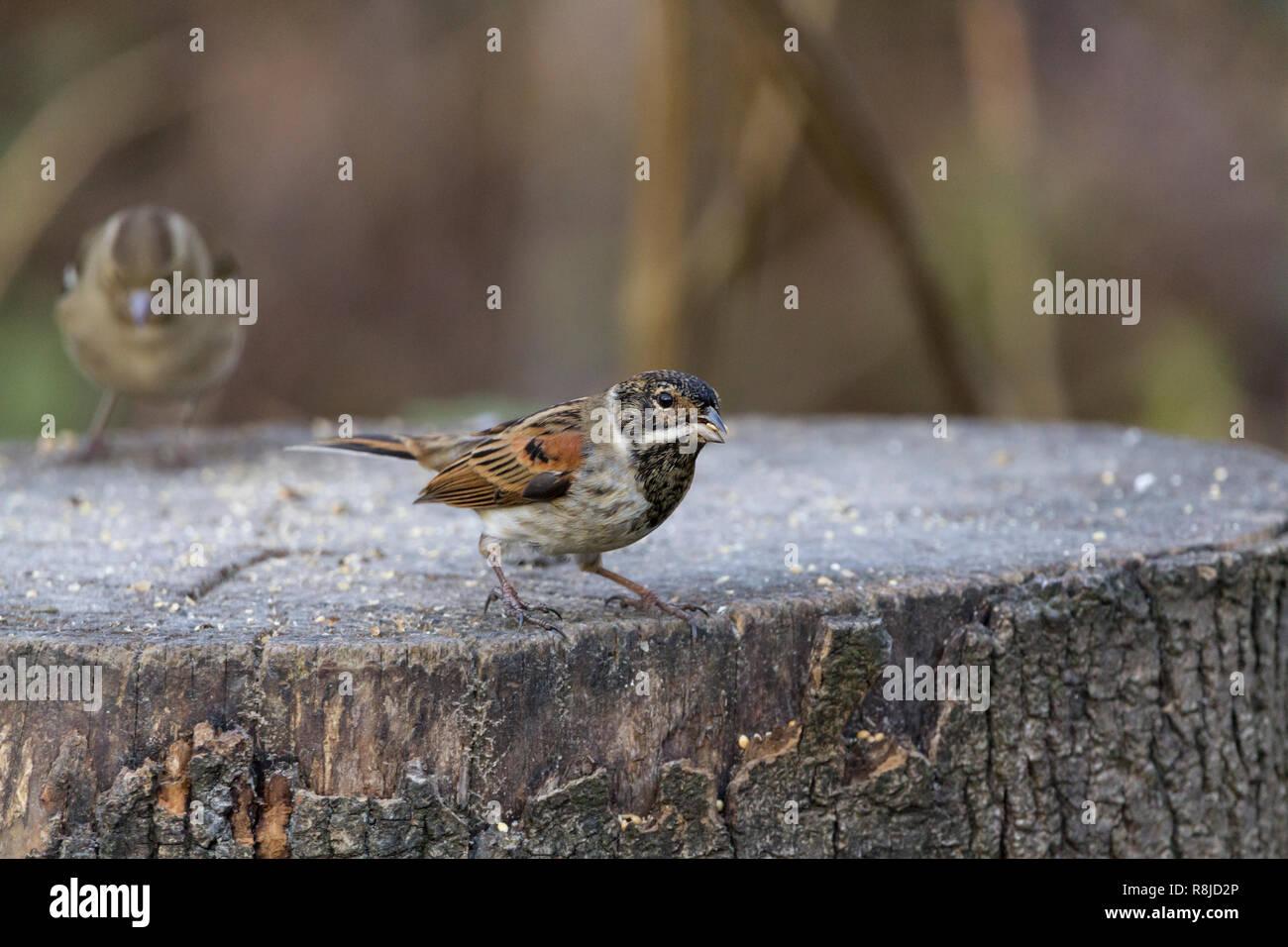 Reed bunting (Emberiza schoeniclus) testa grande esterno bianco piume di coda striature marrone piumaggio invernale. Collare bianco nero della testa e della gola. Sul moncone. Immagini Stock