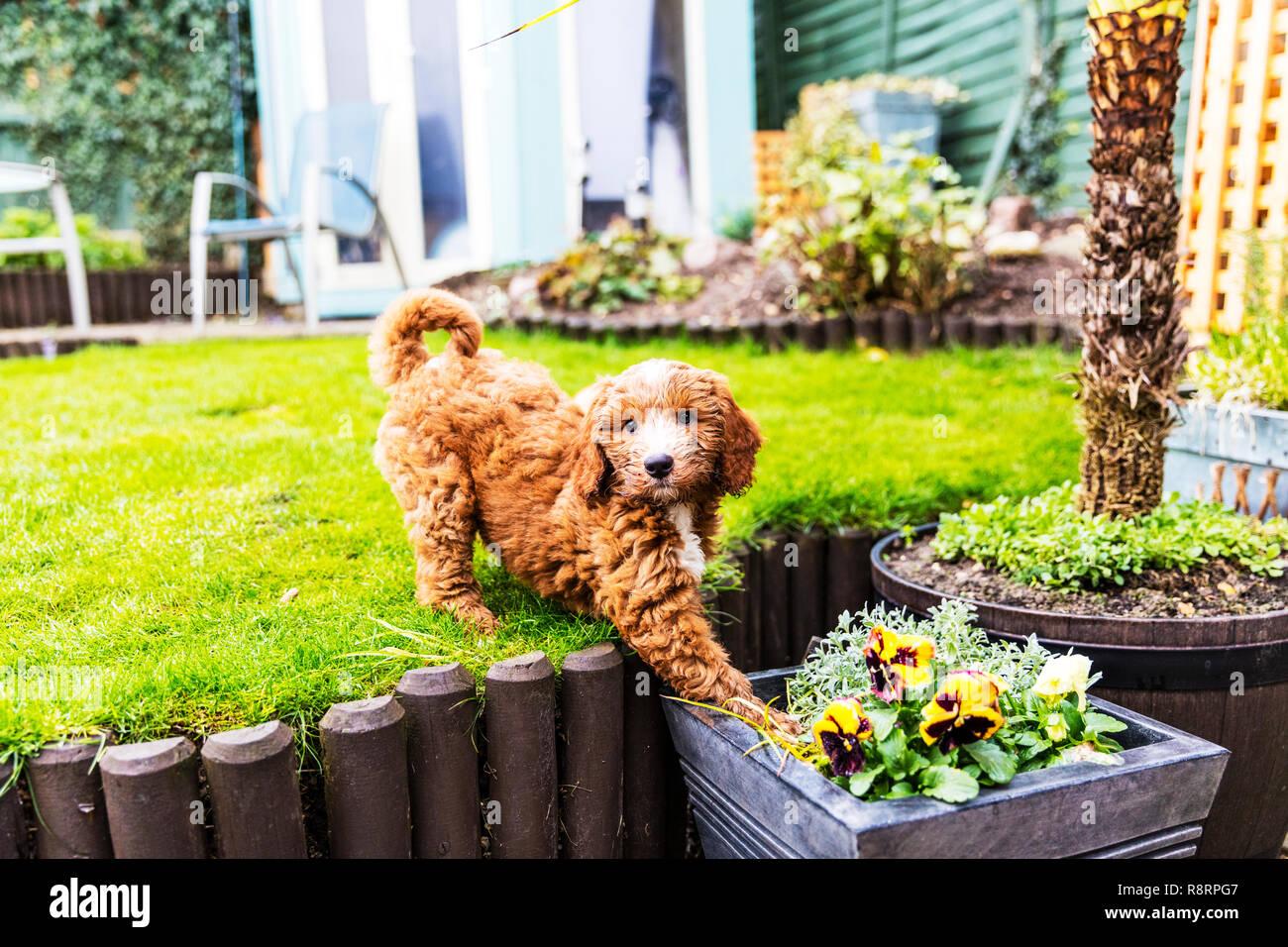 Maliziosa cane cucciolo sbarazzino, sfrontato cucciolo, sfrontato cane, cucciolo, cane, cockapoo, naughty cucciolo, naughty dog, niente di buono, cattivo, sfrontato, cucciolo Immagini Stock
