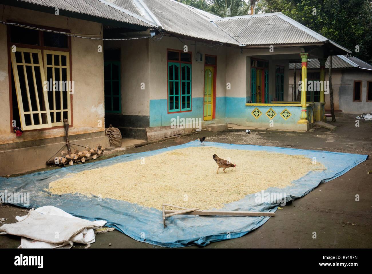 Het drogen van rijst in Tetebatu, Sikur, Kabupaten Lombok Timur, Nusa Tenggara Bar. 83662, Indonesië. Rijst en kruiden drogen. Essiccazione di harversted ri Immagini Stock