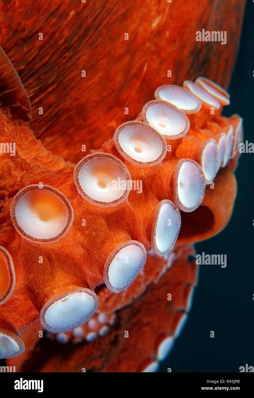 Ventose del gigante polpo del Pacifico o del Pacifico del Nord polpo gigante (Enteroctopus dofleini), Giappone Mare, Primorsky Krai Immagini Stock