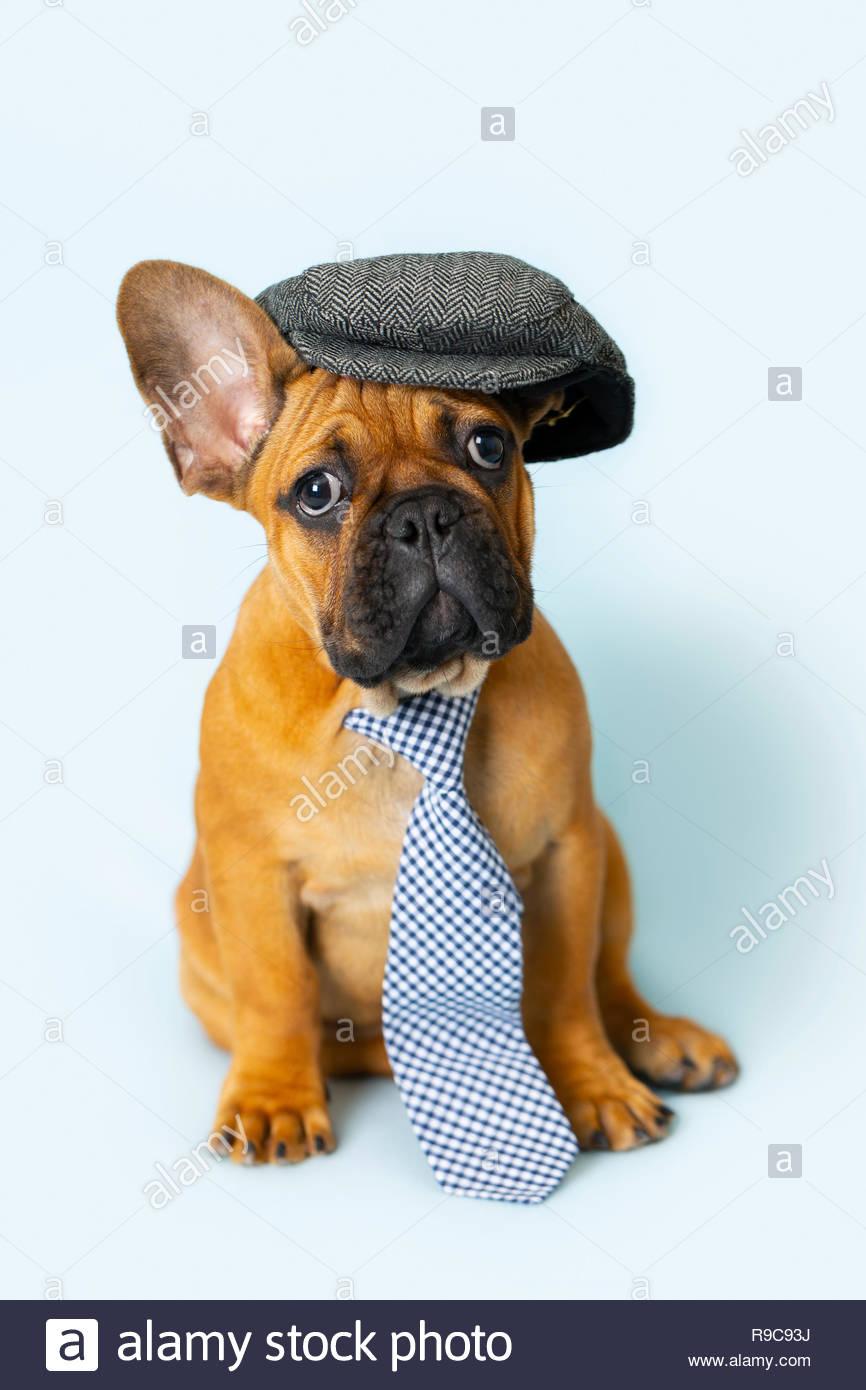 Brown Bulldog Francese Cucciolo Di Cane Che Indossa Abbigliamento