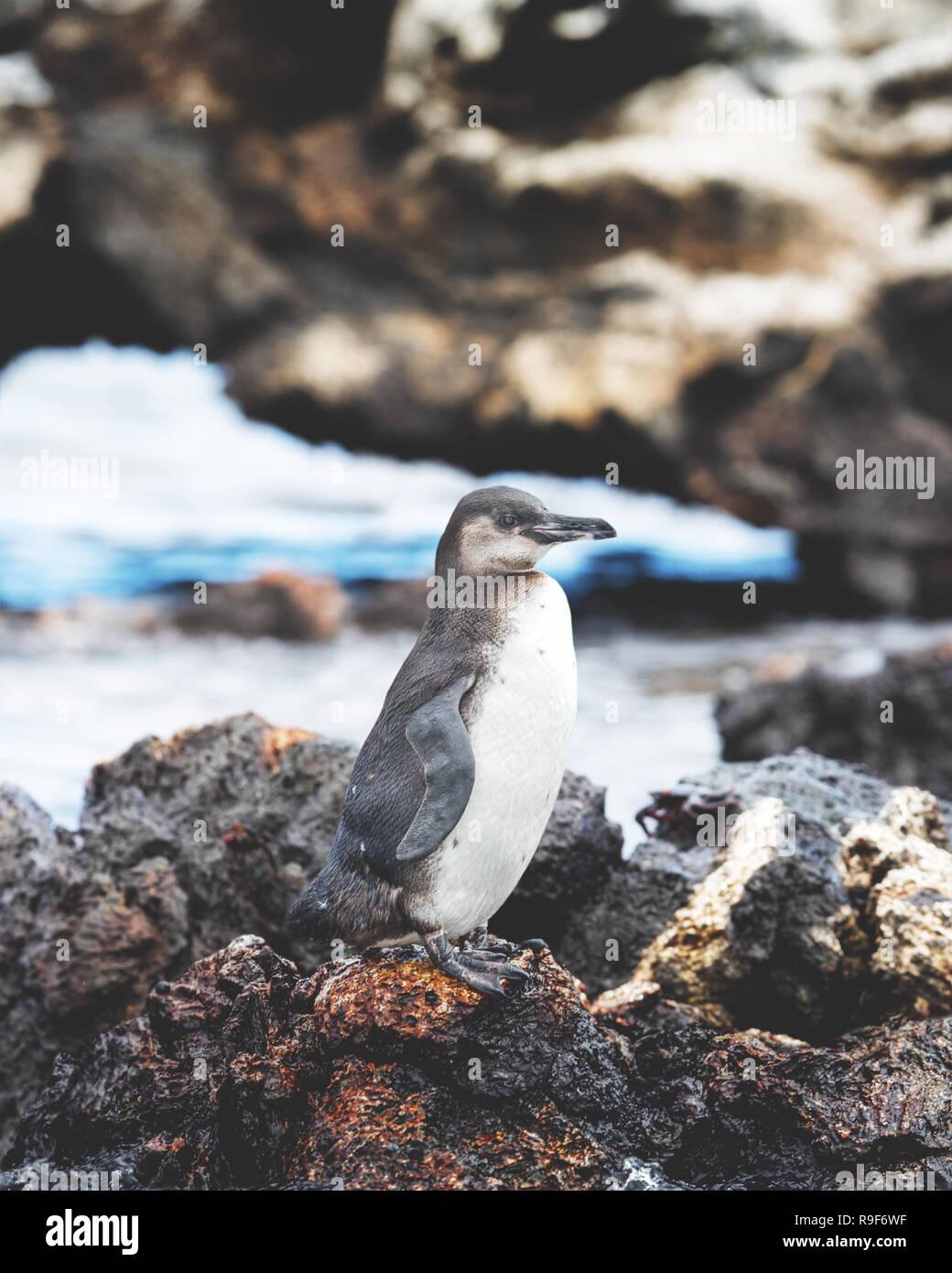 Le Galapagos piccolo pinguino Immagini Stock