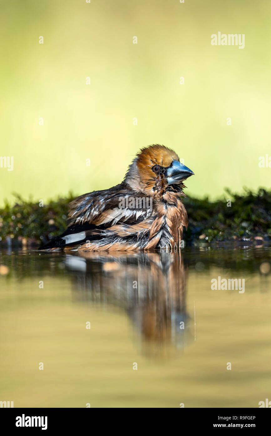 Hawfinch; Coccothraustes coccothraustes maschio singolo la balneazione in Ungheria Immagini Stock