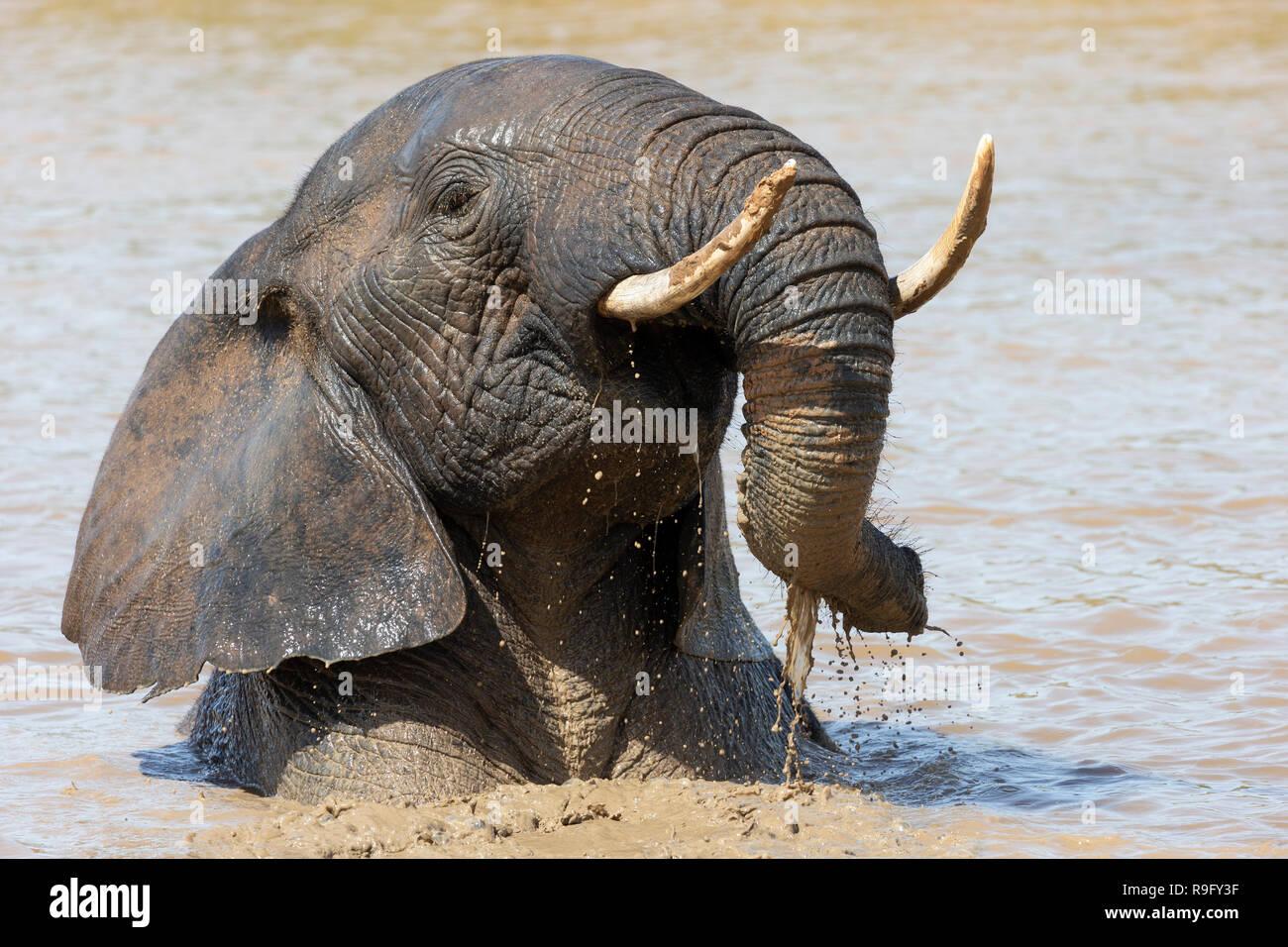Elefante africano (Loxodonta africana) balneazione, Addo Elephant national park, Capo orientale, Sud Africa, Immagini Stock