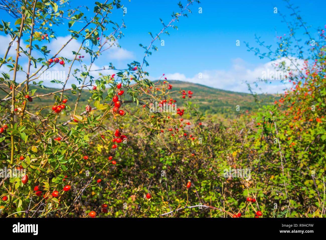 Rosa selvatica. Sierra del Rincon, provincia di Madrid, Spagna. Immagini Stock