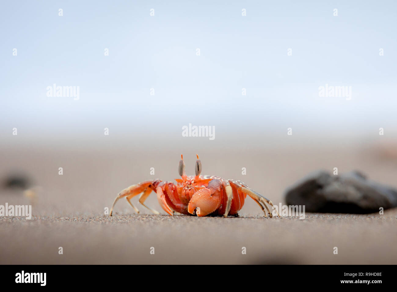 Red ghost crab cangrejo fantasma rojo Isla de la Plata Ecuador Immagini Stock