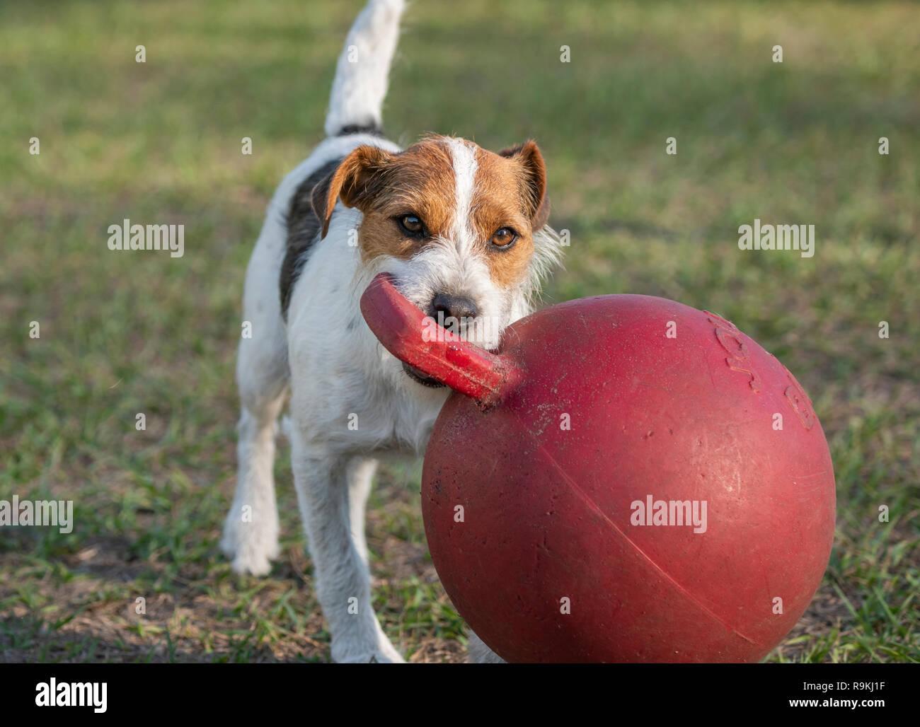 Jack Russel Terrier cane gioca con la grande sfera Jolly Immagini Stock