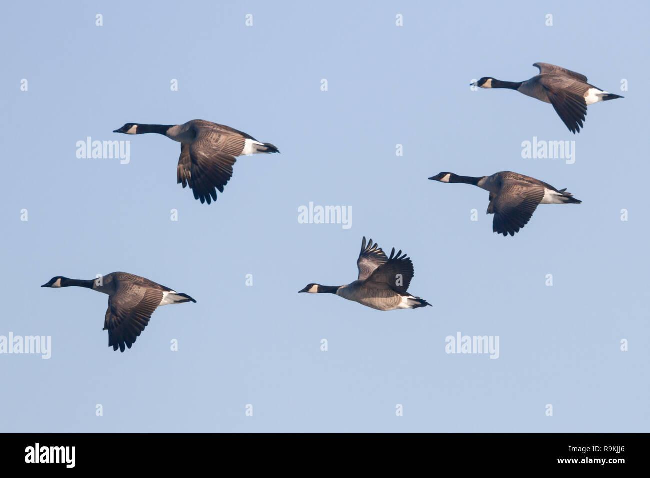 canada goose 2019 AZZURRO