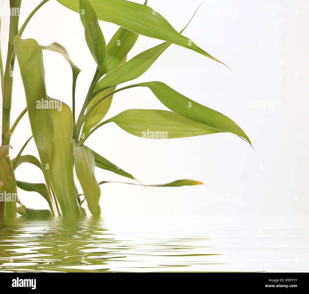 Foglie di bambù specchio riflette nella superficie di acqua, sfondo spa Immagini Stock