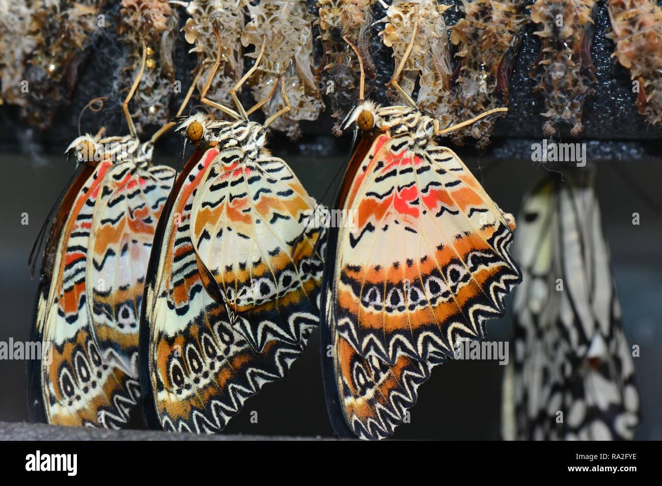Farfalle Lacewing essiccando dopo emergenti nei giardini. Immagini Stock