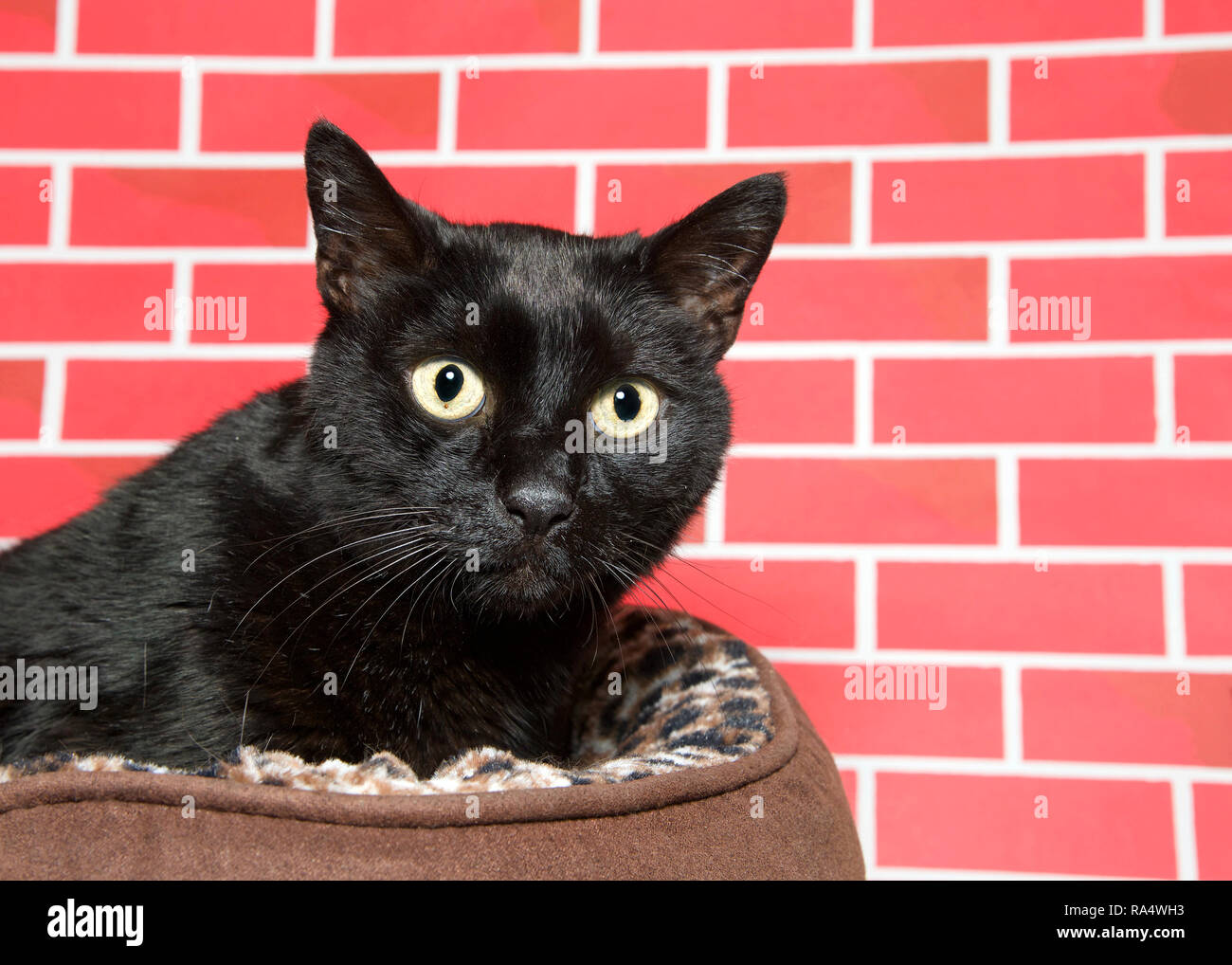 Senior Gatto Nero Rannicchiato In Un Letto Marrone Nervosamente