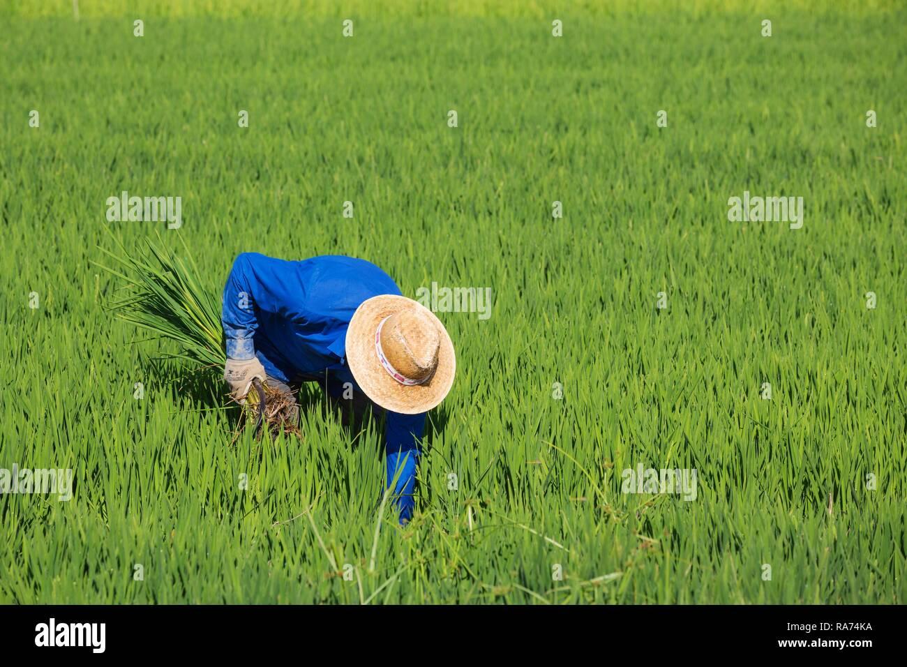 Ripulendo dalle erbacce i campi di riso (Oryza sativa) è un lavoro manuale, in luglio, dintorni di Delta del Ebro Riserva Naturale, provincia di Tarragona Immagini Stock