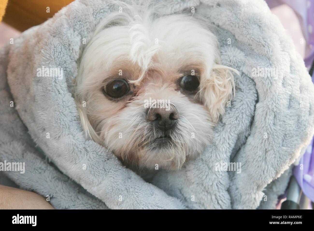 Londra REGNO UNITO. 4 gennaio 2019. Un cane a Wimbledon è avvolto in una coperta contro il freddo come le temperature scendono al di sotto di congelamento celsius Credito: amer ghazzal/Alamy Live News Immagini Stock