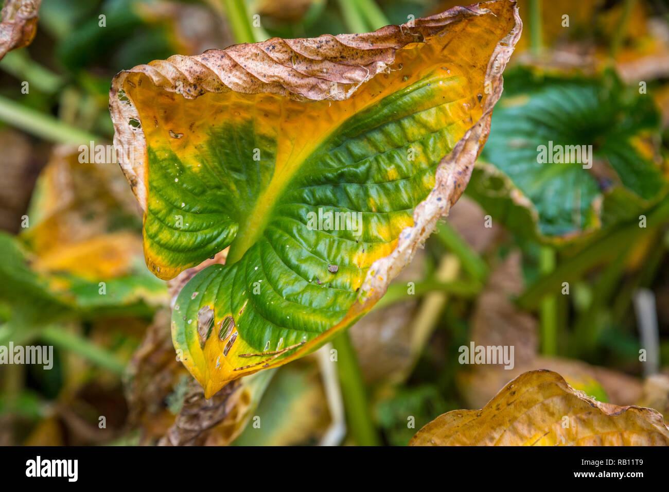 Welkende bunte Blätter un einer Mauer Immagini Stock