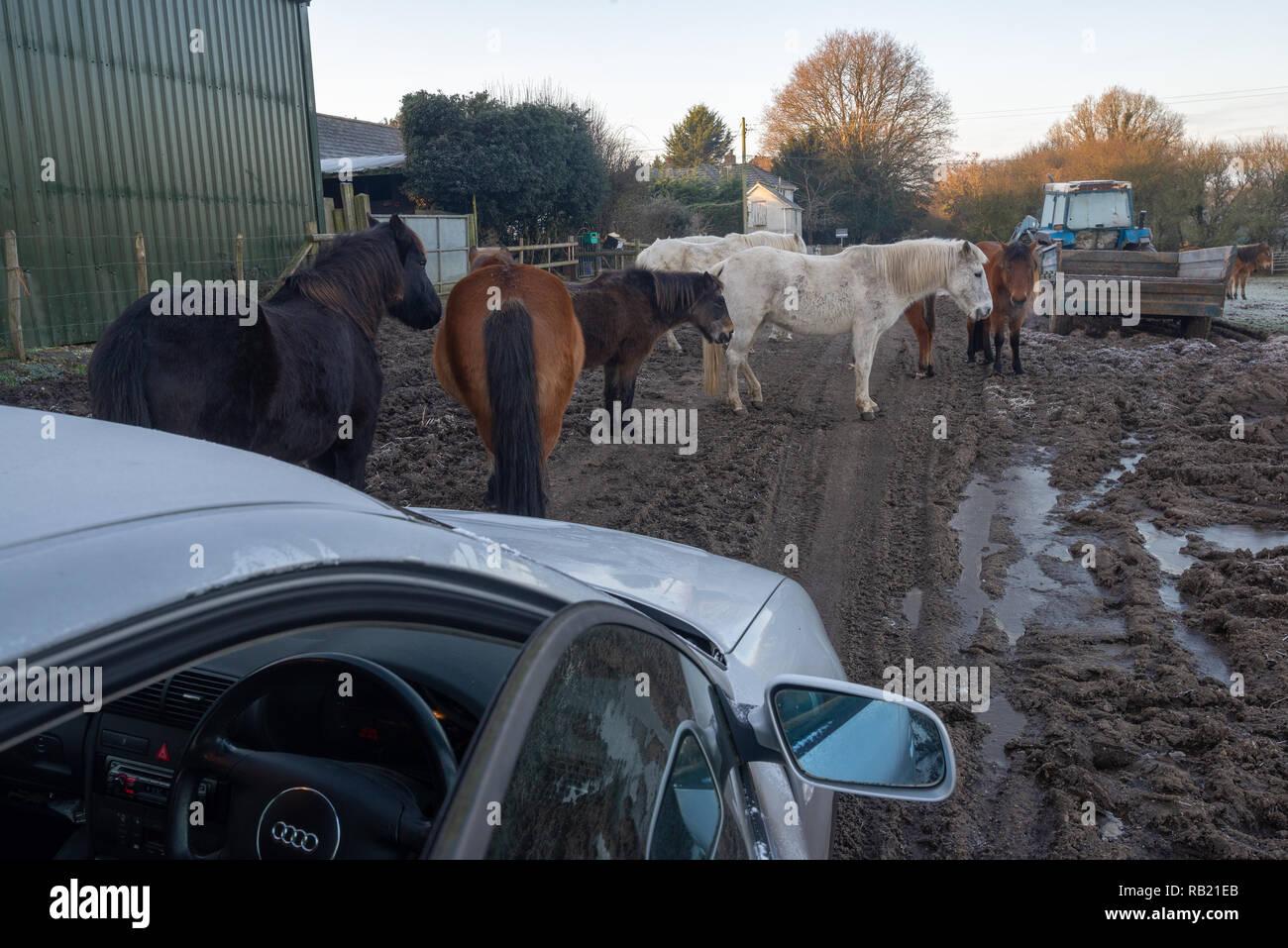Pony bloccare una strada fangosa attraverso una fattoria su un inverno mattina a Ogdens, Frogham, New Forest, Hampshire, Regno Unito Foto Stock