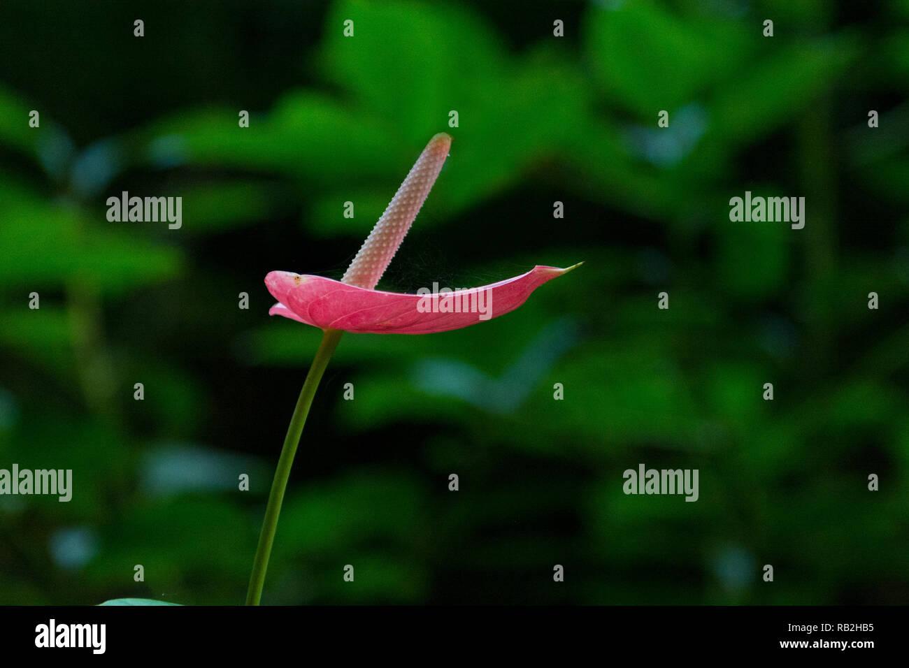 Red Anthrurium fiore in natura, il fuoco selettivo, vista laterale, centrato, dotato di ampio spazio di copia Immagini Stock