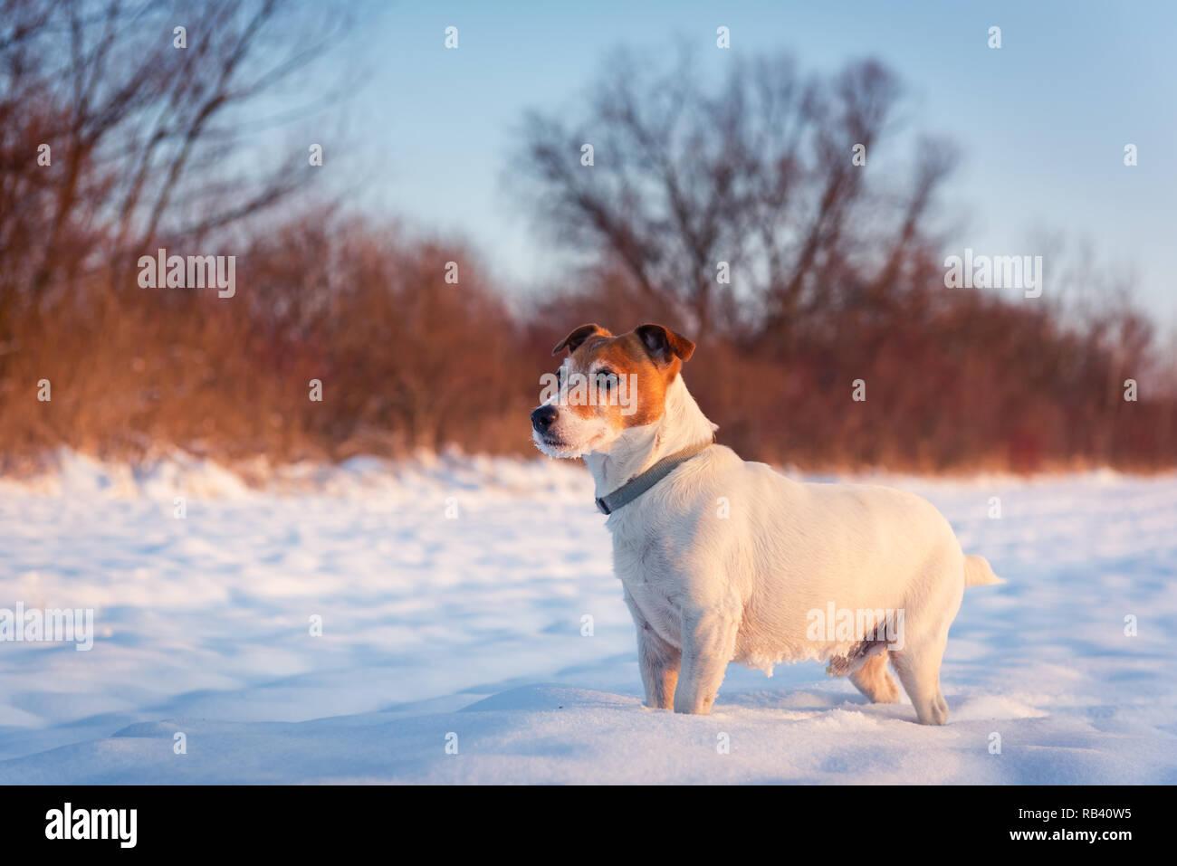 White Jack Russel Terrier Cucciolo Sul Campo Nevoso Cane Adulto Con