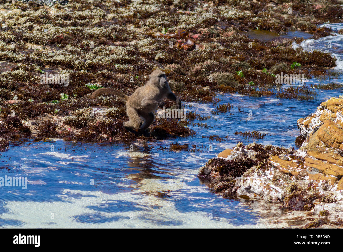 Serie di colpi mostrando un babbuino del capo di saltare attraverso un tratto di mare sulla spiaggia, Cape Peninsula, Sud Africa Immagini Stock