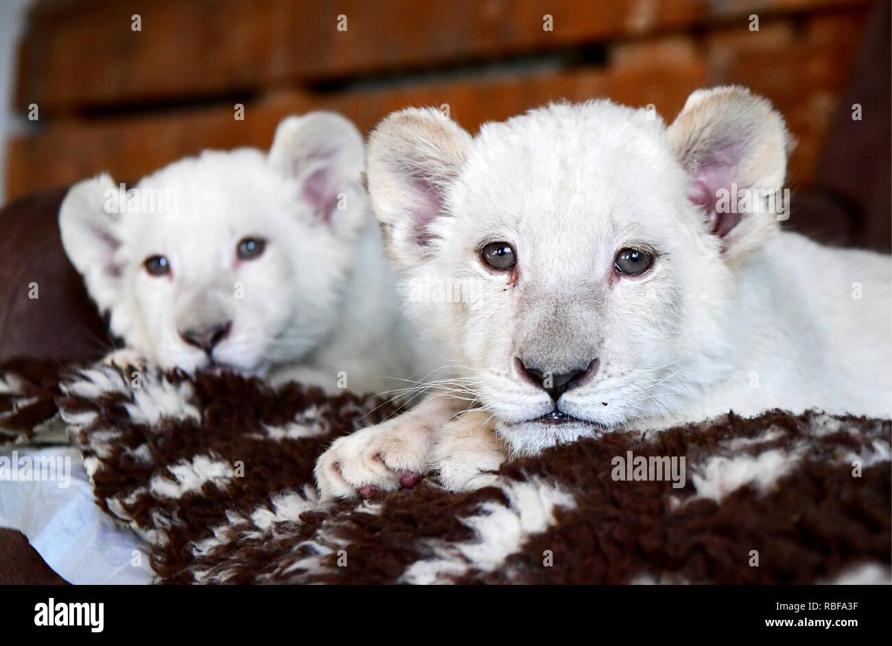 Vladivostok, Russia. Decimo gen, 2019. VLADIVOSTOK, RUSSIA - 10 gennaio 2019: il bianco due leonesse, due mesi di età, sono stati consegnati dalla Bielorussia al Sadgorod zoo a Vladivostok; ci sono solo 300 white Lions nel mondo, di cui 200 vivono nel Sanbona riserva faunistica in Sud Africa. Yuri Smityuk/TASS Credito: ITAR-TASS News Agency/Alamy Live News Immagini Stock