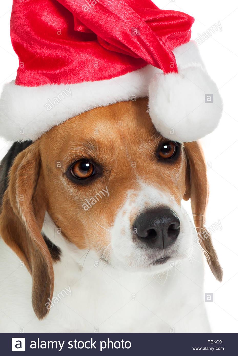 Close up della sola testa di cane Beagle indossando santa hat per natale su sfondo bianco Immagini Stock