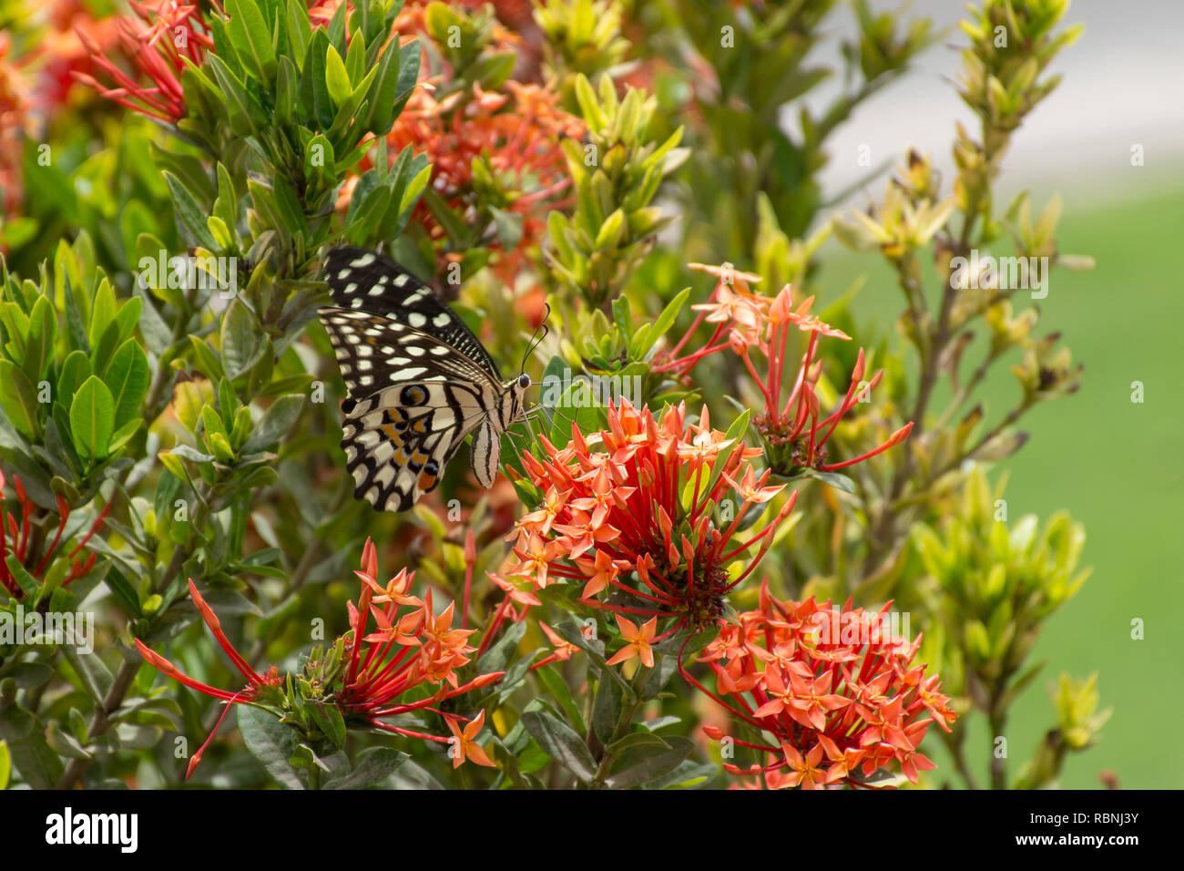 Un calce/Limone farfalla o calce/a coda di rondine a scacchi su un fiore rosso (Papilio demoleus) in Muscat Oman con un cielo blu sullo sfondo. Immagini Stock