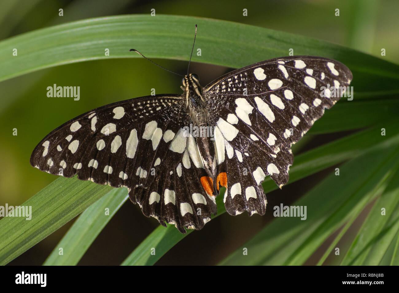 Un calce/Limone farfalla o calce/a coda di rondine a scacchi su un fiore rosso (Papilio demoleus) in Abu Dhabi, negli Emirati Arabi Uniti con una pianta verde dello sfondo. Immagini Stock