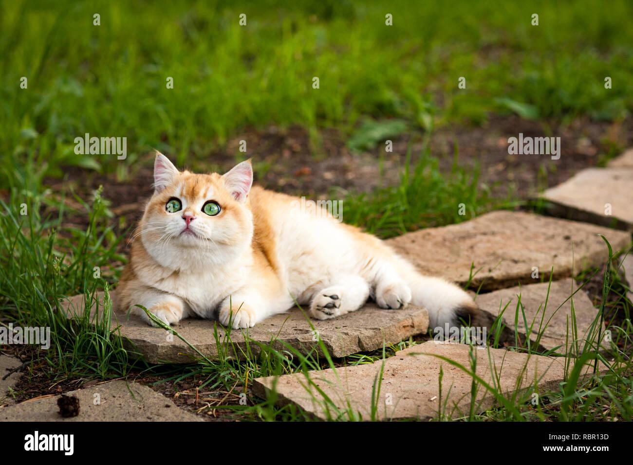 Red Britannico Gatto Con Gli Occhi Verdi Che Giace Su Di Una Pietra