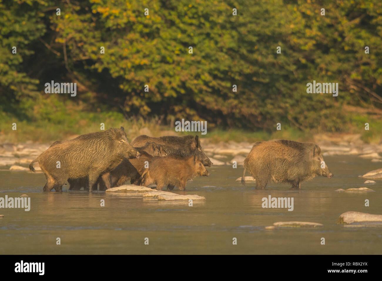 Il cinghiale (Sus scrofa) nel fiume San. Monti Bieszczady. Polonia Foto Stock