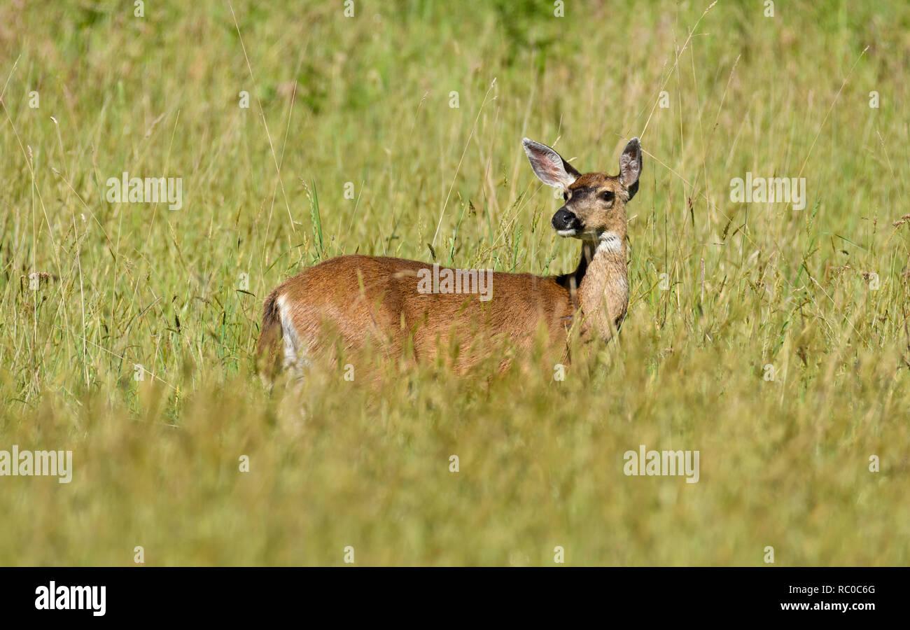 Nero-tailed deer in prato di Prairie Creek Redwoods State Park nel nord della California. Foto Stock