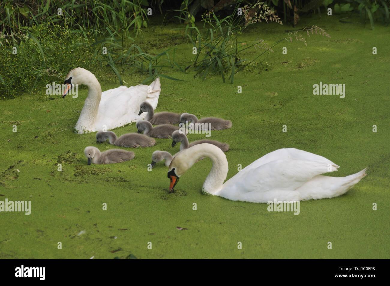 Schwanenpaar mit Küken auf dem Teich, Schlossgraben von Schloss Rühstädt, Rühstedt, Landkreis Prignitz, Brandeburgo, Deutschland, Europa   swan giovane Immagini Stock