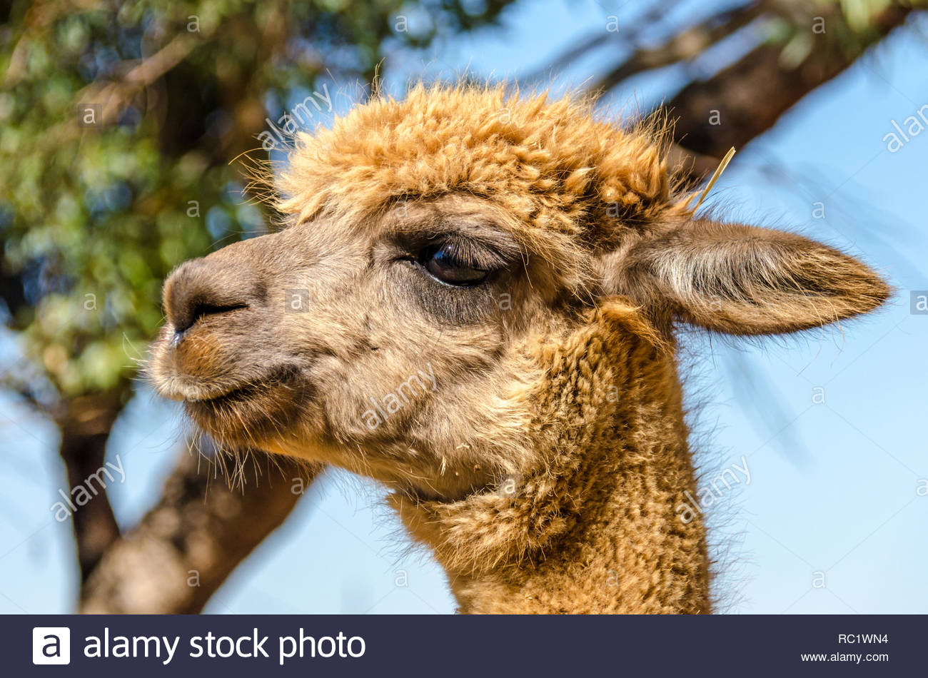 Marrone chiaro Alpaca a Benson Park, Sud Australia Immagini Stock