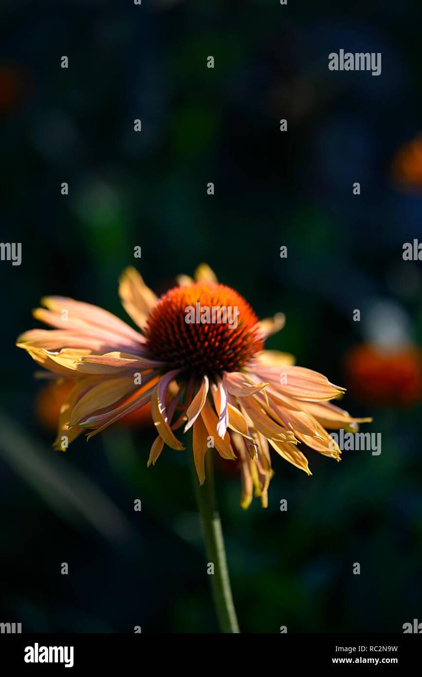 Echinacea purpurea Big Kahuna,Coneflower,rosso arancio fiori,miele-mango fiori colorati, letto matrimoniale,confine,perenne,RM Floral Immagini Stock