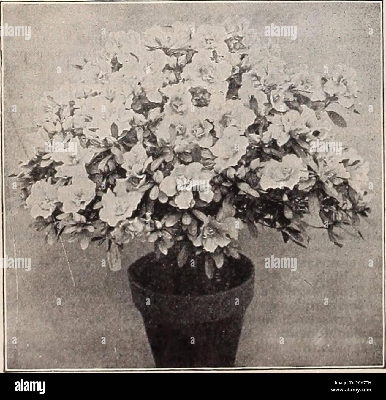 Pianta Ornamentale Con Bacche Rosse dreer del catalogo autunno 1911. lampadine (piante