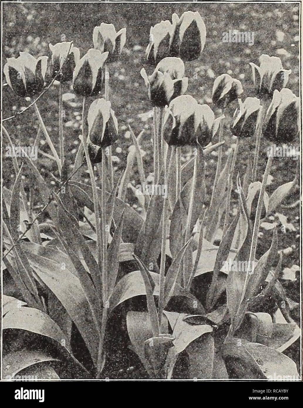 """. Dreer del catalogo autunno 1911. Lampadine (piante) cataloghi; fiori Semi cataloghi; attrezzature da giardinaggio e fornisce cataloghi; Vivai (orticoltura) cataloghi; semi di frutta cataloghi; semi di ortaggi cataloghi. llBiRpm^plMp^^ 9 5ingle primi tulipani. Selezionare Standard Ordina. In aggiunta ai dieci """"inimitabile"""" e """"Grand""""' ordina offerta sulla pagina opposta, offriamo i seguenti molto selezionare ordina, i quali sono tutti di prima classe in ogni senso. In seguito il nome di ciascuna varietà diamo la sua media altezza in pollici. Quelli contrassegnati e sono i primi a fiorire, seguiti da quelli contrassegnati con M Foto Stock"""