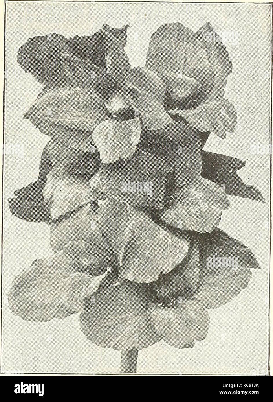 . Dreer's garden prenota : 1904. Cataloghi di sementi; vivaio cataloghi; attrezzature da giardinaggio e fornisce cataloghi; fiori Semi cataloghi; semi di ortaggi cataloghi; frutto Semi cataloghi. [WADRffiR -PHIIADELPHIAMmGARDEN^-OREENHOUSf PlAhU H i-i dieci nuovi CANNAS di meriti speciali. Di seguito sono riportate le iiUroductions del 1902 e 1903, e hanno avuto una prova accurata con noi. Abbiamo trovato tliem di meriti eccezionali e più desiderabile aggiunte a qualsiasi high-grade raccolta. Orand Duca Ludovico. I ricchi porpora di Carmine Di Marco- rali ; llowers molto grandi, petali frequentemente la misura 2j pollici attraverso ; ben arrotondati Immagini Stock