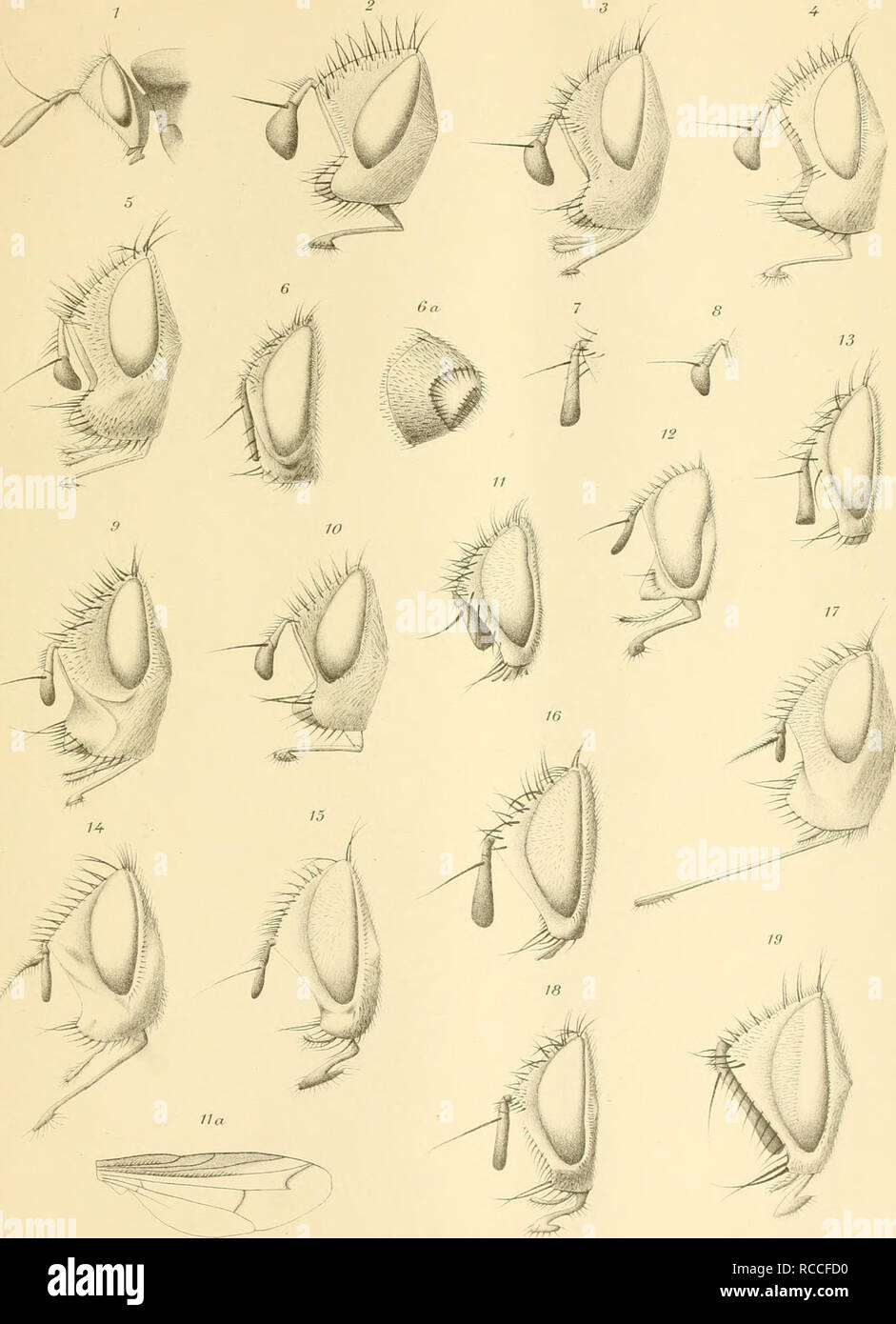 . Ditteri del Messico. Ditteri -- Messico. E, 6iglÌo-ot dis dal ver ili. Salussolia^Torino. Si prega di notare che queste immagini vengono estratte dalla pagina sottoposta a scansione di immagini che possono essere state migliorate digitalmente per la leggibilità - Colorazione e aspetto di queste illustrazioni potrebbero non perfettamente assomigliano al lavoro originale. Giglio-Tos, Ermanno. Torino : C. Clausen Foto Stock