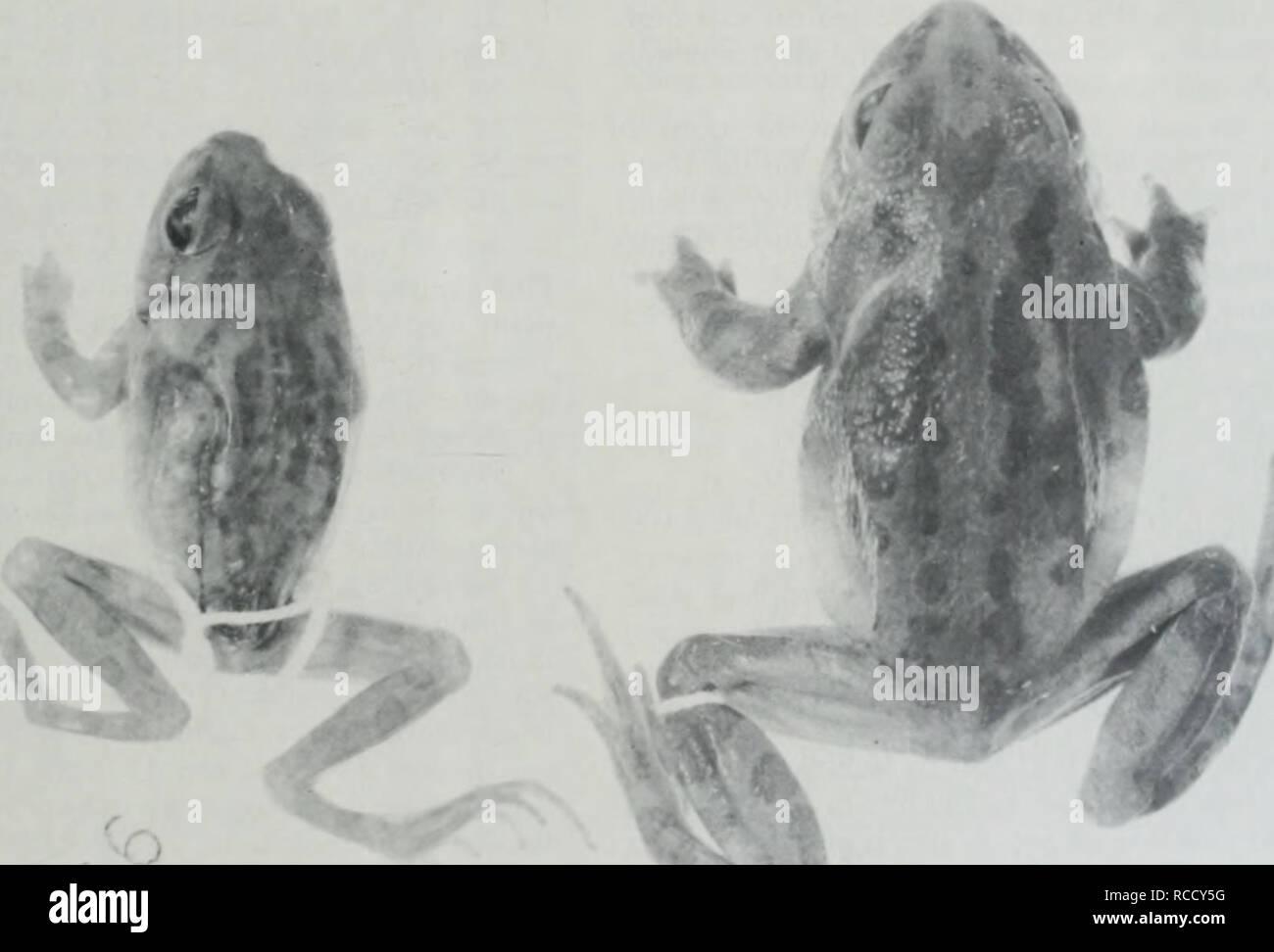 """. Distribuzione, habitat e il richiamo di stagione dell'Illinois chorus (rana Pseudacris streckeri illinoensis) lungo la parte inferiore del fiume Illinois. Le rane. Settembre 1988 marrone e rosa: Illinois Chorus (Rana Pstudacns strecken illinoensis) Pseudacris streckeri illinoensis. Abbiamo il sospetto che il centro di operazioni per la stazione di salvataggio era situato sul lato meridionale del lago sul lato est essere- cause 1928 quadrangolo Meredosia mappa mostra un certo numero di edifici in quella zona. Weed (1923) ha osservato che il campione ha raccolto (Figura 2) era un """"corto, spessa, corpo"""", e a cui egli ha fatto riferimento al Foto Stock"""