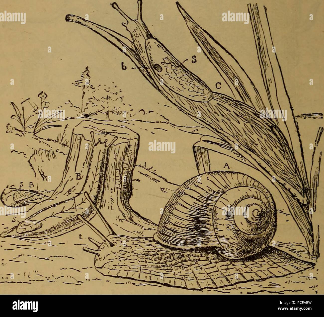 . Elementi di zoölogy. Zoologia. 66 MOLLUSCO A. lumache, interessante da grandi variazioni della shell. Le uova sono fissate in capsule (Fig. 69), in una massa gelatinosa, in tarda primavera. In inverno vanno in letargo nel fango ; 320 specie sono noti. Land-Snails (Heliadce).-tremila tre hun- dred e trenta-due specie di questi sono conosciuti in varie. FlG. 70.-l'aria respirabile gasteropods : Lumache e limacce. Un giardino, snail {Elica) ; B, B, slug Testacella-uno disappeai-ing nel terreno e solo la coda che mostra ; C, il grande grigio slug (Limax) ; s, shell; t, dieci- tacles ; e, occhi ; b Foto Stock
