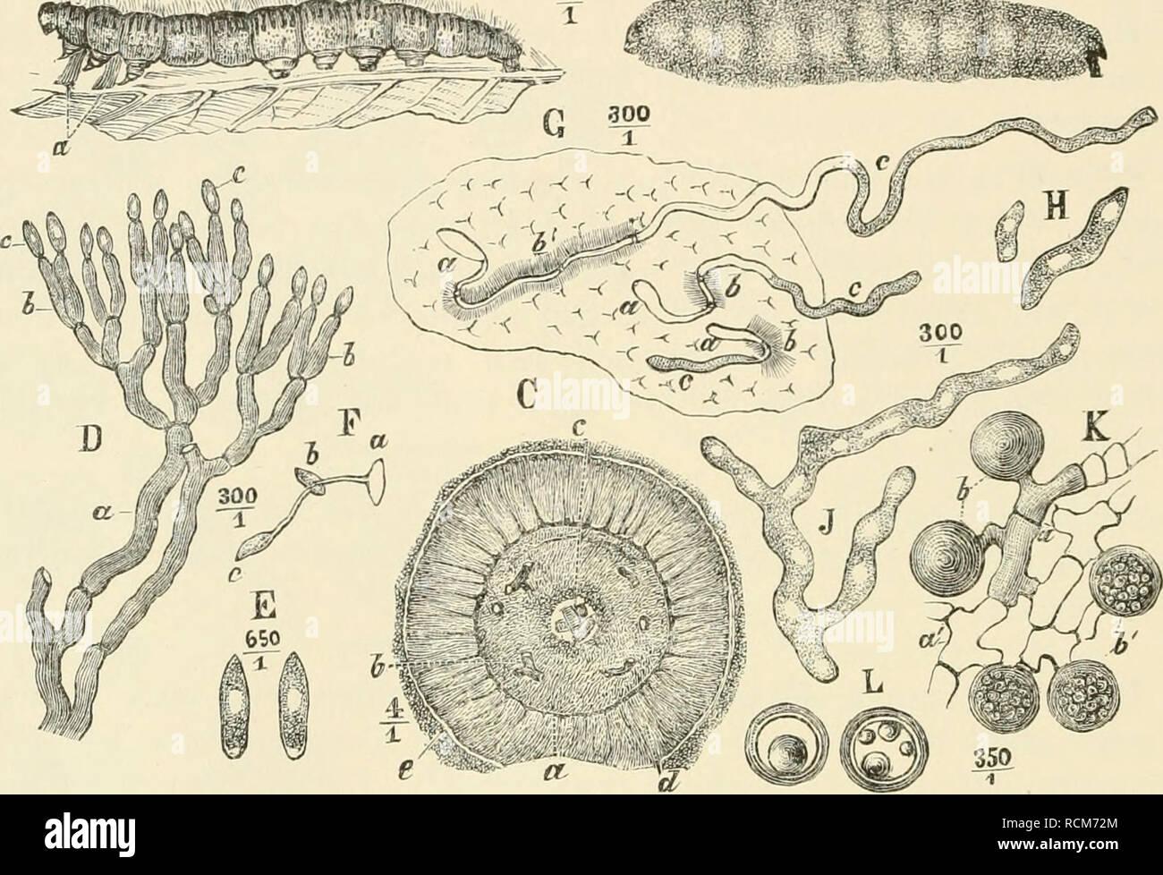 . Die forstinsekten Mitteleuropas. Ein Lehr- und handbuch. Alberi; Insetti Utili. 264 Kapitel 1.. Natürliche Beschränkung der Insektenvermehrung. durchsetzt nun fortwachsend und sich in mehrere Zellen gliedernd, von denen nur die vorderste Protoplasma enthält, die Leibeswand der Raupe, bis er allmählich - gewöhnlich am dritten Tage - in dem Fettkörper anlangt. Hier wächst nun die Endzelle auf Kosten des Fettkörpers, den sie mit onu- glaublicher Schnelligkeit durchwuchert, zu einem verästelten und verfilzten Mycel aus (Fig. 200, J). Jetzt beginnt die schon erwähnte Trägheit der bis dahin un Foto Stock