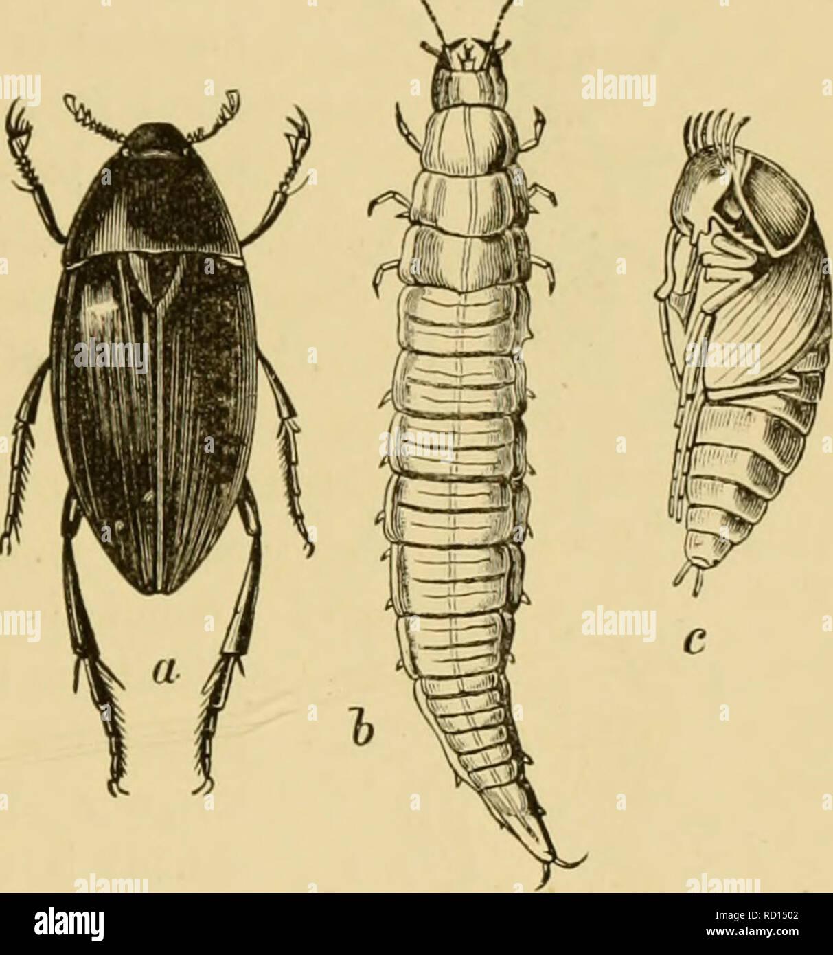""". Testo elementare-libro di zoologia, parte generale e parte speciale: protozoi a insecta. Animali. COLEOPTERA. 585 Fara. Hesperidae. IIcqKrin virgola L. //. sylvanvs Schn. Fam. LycaenidsB {Polycmmatida'), (Rlaulintre). Pohjonufiatus A7""""ion L., P. Damon Fubr. P. virgaurece L., Thcchi ruhi L., verde hairstreak. T. Quercus L., capelli viola streak. '!'. Betulce L. fam. Satyridae. Sutyrus Prtsi-è L., S. Ilcrmlone L., Erchia Bsdv. (^Ilip- l)arrhia Falir.), /-'. Janira L., ecc. Fam. Nymphalidae. I bruchi hanno outgrowths spinosa, raramente coperto con tine liairs. Il pujja è fissato con il suo posterio Immagini Stock"""
