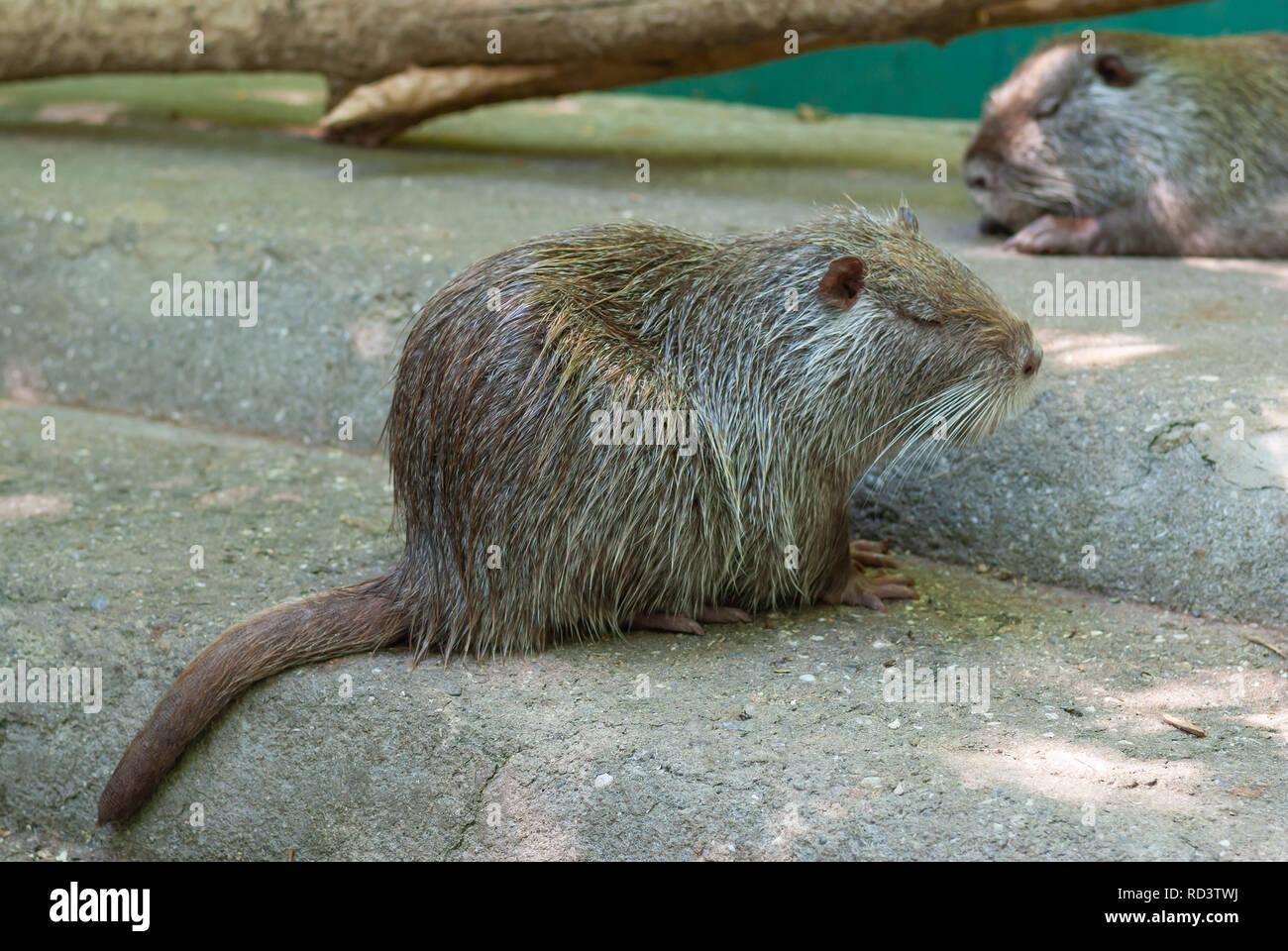 Il coypu noto anche come la nutria avente poggiare su una superficie di cemento dopo il bagno procedure essendo in cattività Foto Stock