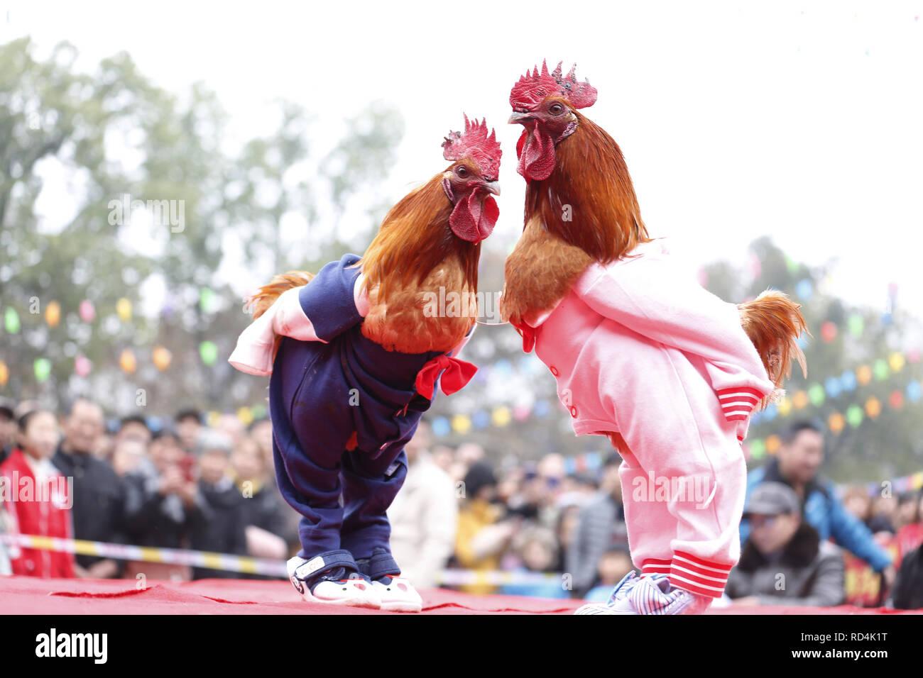 Huaying, Huaying, Cina. Xvii gen, 2019. Huaying, CINA-Il gallo combattimenti è tenuto in Huaying nella provincia di Sichuan, segnando il prossimo nuovo anno lunare. Credito: SIPA Asia/ZUMA filo/Alamy Live News Immagini Stock