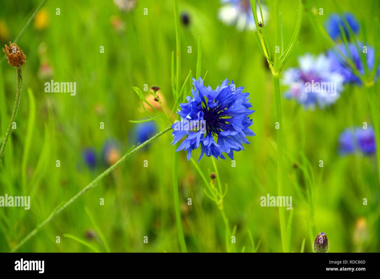 """Unico Centaurea cyanus """"fiordaliso/laurea pulsante' cresciuto nel selvaggio fiore Prato di RHS Garden Harlow Carr, Harrogate, Yorkshire. Inghilterra, Regno Unito. Immagini Stock"""